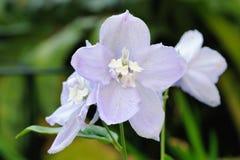 Schließen Sie oben von den hellblauen Blumen des Delphinium (elatum) Stockfotografie
