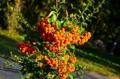 Schließen Sie oben von den hellen roten Pyracanthabeeren auf Baum Lizenzfreies Stockfoto