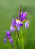 Schließen Sie oben von den Irisblumen auf grünem Hintergrund Stockfoto