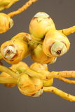 Schließen Sie oben von den jungen Kokosnüssen mit Niederlassung Stockfotografie