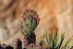 Schließen Sie oben von den Kaktusdornen Stockfotografie