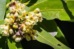 Schließen Sie oben von den Kalifornien-Lorbeerbaumblumen stockfotografie