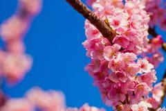 Schließen Sie oben von den Kawazu-Kirschblüten Lizenzfreie Stockfotos