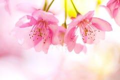 Schließen Sie oben von den Kawazu-Kirschblüten Lizenzfreie Stockfotografie
