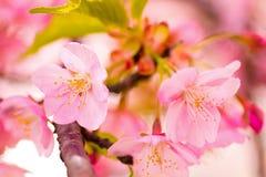 Schließen Sie oben von den Kawazu-Kirschblüten Stockfotos