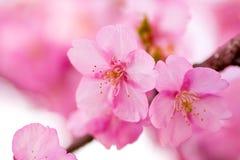 Schließen Sie oben von den Kawazu-Kirschblüten Stockbilder