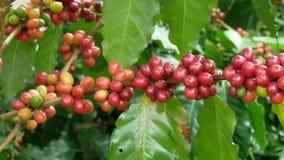 Schließen Sie oben von den Kirschkaffeebohnen auf der Niederlassung der Kaffeeanlage, bevor Sie ernten stock video