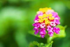 Schließen Sie oben von den Lantanablumen Stockfotografie
