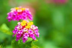 Schließen Sie oben von den Lantanablumen Stockfotos