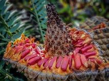 Schließen Sie oben von den Leuchtorange Cycadsamen um Ananas wie Hülse lizenzfreies stockbild