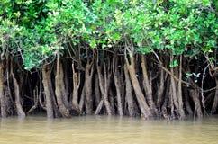 Schließen Sie oben von den Mangroven auf Fluss Lizenzfreies Stockbild