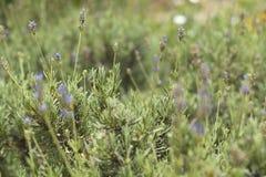 Schließen Sie oben von den natürlichen Lavendelanlagen, die wild wachsen Stockfotografie