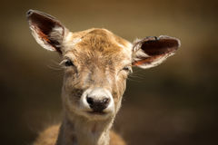 Schließen Sie oben von den netten, jungen Baby-Rotwild mit lustigem Ausdruck Lizenzfreies Stockbild