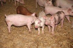 Schließen Sie oben von den neugeborenen rosa Ferkeln Stockbilder