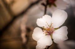 Schließen Sie oben von den Niederlassungen, die mit Mandelblüten gefüllt werden Stockbild