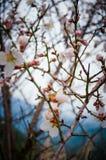 Schließen Sie oben von den Niederlassungen, die mit Mandelblüten gefüllt werden Stockfotos