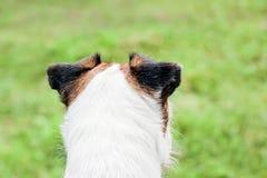 Schließen Sie oben von den Ohren von Pastorrussell-Terrier lizenzfreies stockfoto