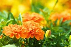 Schließen Sie oben von den orange Ringelblumen Stockbilder