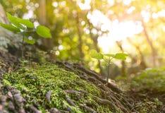 Schließen Sie oben von den Pflänzchen, die auf Baumwurzel im tropischen Wald in Vietnam wachsen Lizenzfreie Stockfotografie