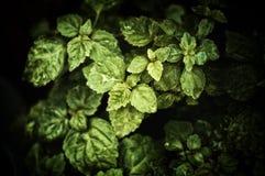 Schließen Sie oben von den Pogostemon cablin Patschulipflanzenpflanzenblättern mit Regentropfen lizenzfreies stockfoto
