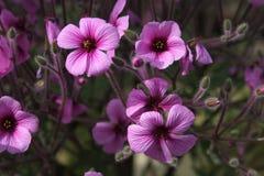 Schließen Sie oben von den purpurroten Blumen Stockbilder