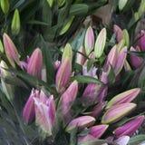 Schließen Sie oben von den purpurroten Lilienblumen mit den Staubgefässen und dem Blütenstaub Lizenzfreies Stockfoto