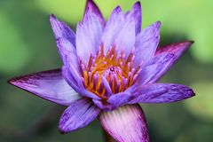 Schließen Sie oben von den purpurroten Seeroseblumen lizenzfreie stockfotografie
