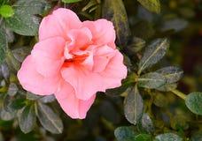 Schließen Sie oben von den recht rosa Blumen der Azalee - Rhododendron Simsii mit grünen Blättern Lizenzfreie Stockfotografie