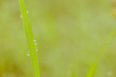 Schließen Sie oben von den Regentropfen auf Blatt des grünen Grases, Makro, Bild ist s Stockbilder