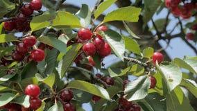 Schließen Sie oben von den reifen Kirschen auf Baum stock footage