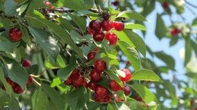 Schließen Sie oben von den reifen Kirschen auf Baum stock video footage