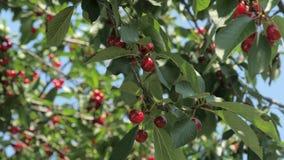 Schließen Sie oben von den reifen Kirschen auf Baum stock video