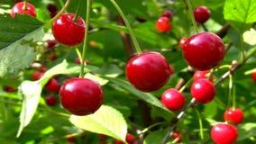 Schließen Sie oben von den reifen Kirschen auf dem Kirschbaum stock video footage