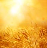 Schließen Sie oben von den reifen Weizenohren Schöner Hintergrund von reifenden Ohren Stockfotos