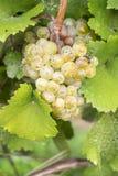 Schließen Sie oben von den Rieslings-Weißwein-Trauben #1 Stockfoto