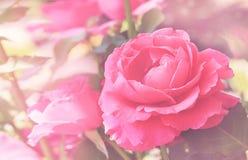 Schließen Sie oben von den rosa Rosen mit natürlichem unscharfem Hintergrund am sonnigen Tag im Garten Hintergrundbeleuchtung Stockfotos