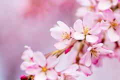 Schließen Sie oben von den rosa weinenden Kirschblüten Lizenzfreie Stockbilder