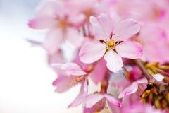 Schließen Sie oben von den rosa weinenden Kirschblüten Lizenzfreies Stockbild