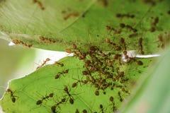 Schließen Sie oben von den roten Ameisen in den Blättern von Rosen-Apfel lizenzfreie stockbilder