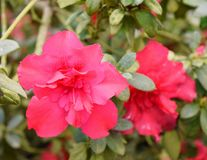 Schließen Sie oben von den roten Blumen von Azalea Rhododendron Plant mit grünen Blättern Lizenzfreie Stockfotografie