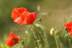 Schließen Sie oben von den roten Mohnblumen Lizenzfreie Stockfotos