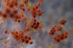 Schließen Sie oben von den roten trockenen Anlagen, Kräuter der Korsika-Insel, Frankreich Beschaffenheit der Vegetation Horizonta lizenzfreie stockbilder