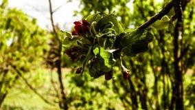 Schließen Sie oben von den roten, wilden Apfelbaumblumen Blühende Bäume - Aufwachen der Natur lizenzfreie stockfotos