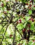 Schließen Sie oben von den roten, wilden Apfelbaumblumen Blühende Bäume - Aufwachen der Natur lizenzfreies stockfoto