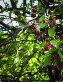 Schließen Sie oben von den roten, wilden Apfelbaumblumen Blühende Bäume - Aufwachen der Natur stockfotografie