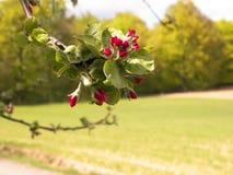 Schließen Sie oben von den roten, wilden Apfelbaumblumen Blühende Bäume - Aufwachen der Natur stockbilder
