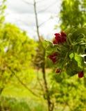 Schließen Sie oben von den roten, wilden Apfelbaumblumen Blühende Bäume - Aufwachen der Natur lizenzfreie stockbilder