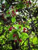Schließen Sie oben von den roten, wilden Apfelbaumblumen Blühende Bäume - Aufwachen der Natur stockbild