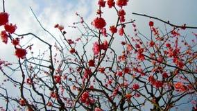 Schließen Sie oben von den schönen Kirschblüte-Baumblüten am Park stock video footage