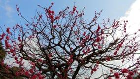 Schließen Sie oben von den schönen Kirschblüte-Baumblüten am Park stock video